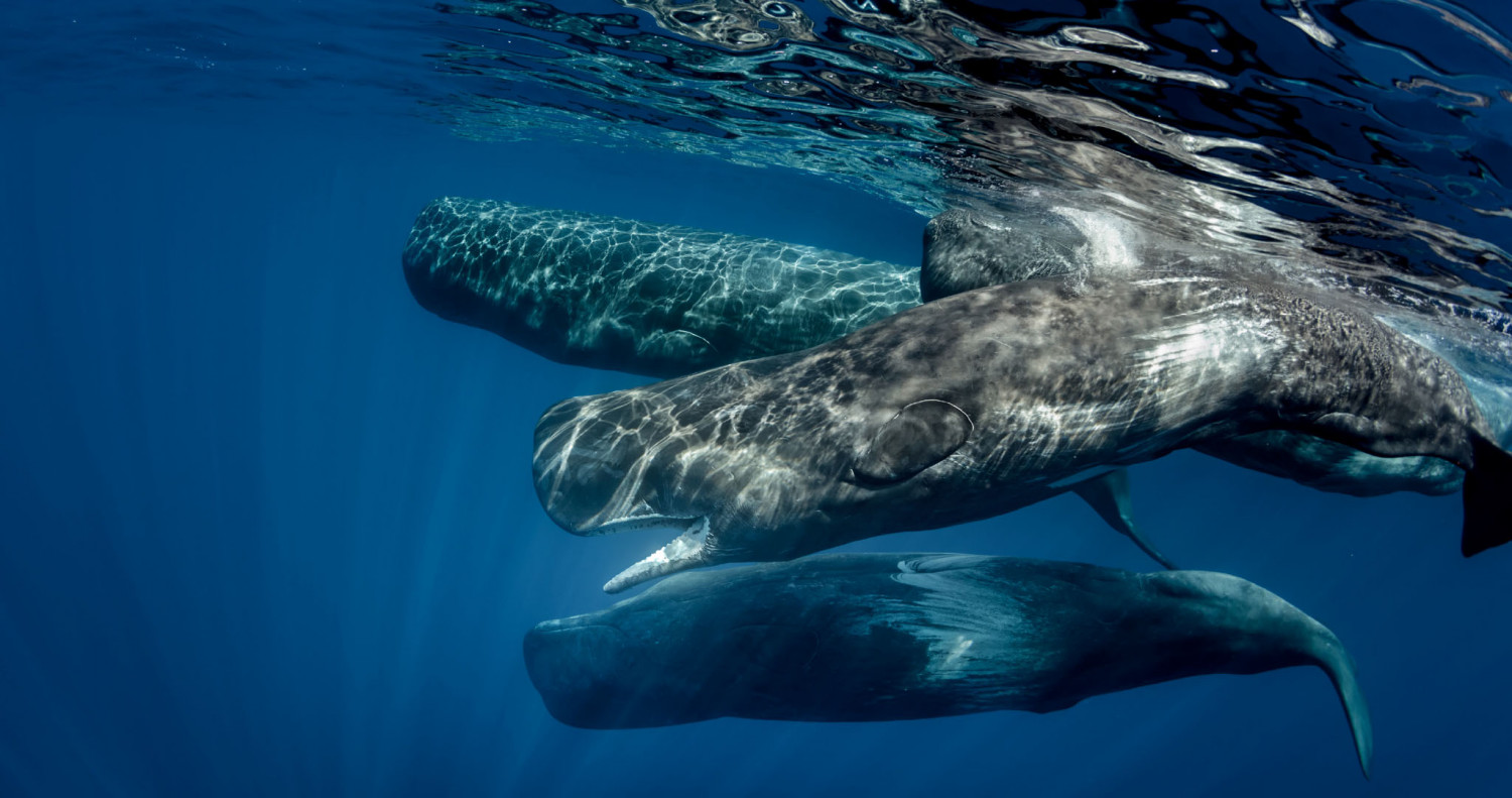 a case study on the whale The biggest fish in the sea the whale shark, rhincodon typus, still remains one of   the impacts and implications of whale shark ecotourism: a case study of.